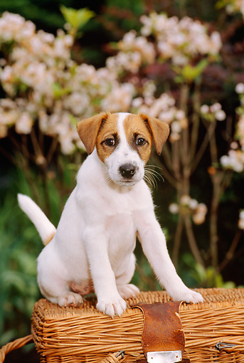 PUP 14 CE0023 01 © Kimball Stock Fox Terrier Puppy Sitting On Wicker Basket By White Flowers