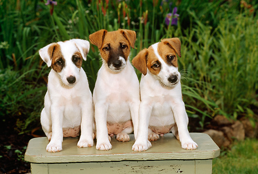 PUP 14 CE0024 01 © Kimball Stock Three Fox Terrier Puppies Sitting On Table By Flowers