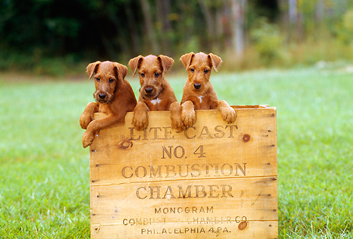PUP 14 CE0025 01 © Kimball Stock Three Irish Terrier Puppies Sitting In Wooden Box On Grass