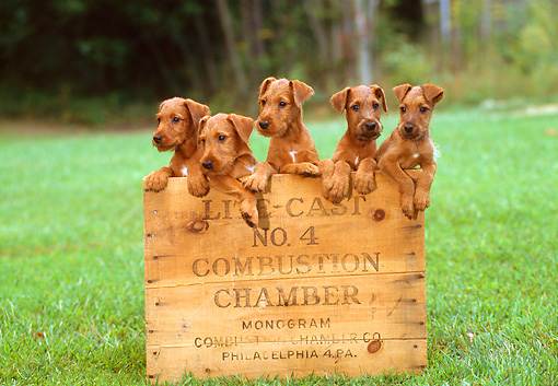 PUP 14 CE0026 01 © Kimball Stock Five Irish Terrier Puppies Sitting In Wooden Box On Grass