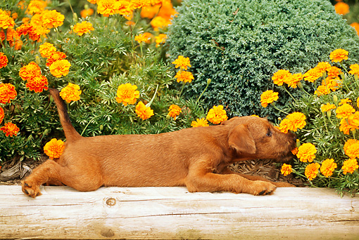 PUP 14 CE0027 01 © Kimball Stock Irish Terrier Puppy Laying In Planter Sniffing Flowers