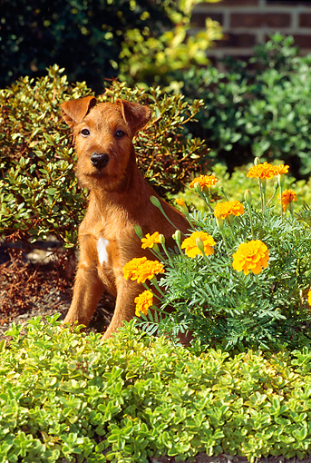 PUP 14 CE0028 01 © Kimball Stock Irish Terrier Puppy Sitting In Planter By Orange Flowers
