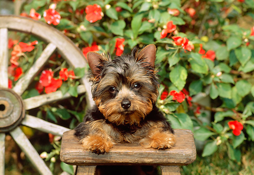 PUP 14 CE0029 01 © Kimball Stock Yorkshire Terrier Puppy Laying On Wooden Stool By Wagon Wheel Flowers