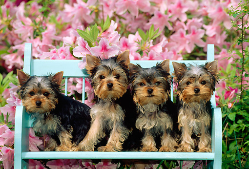 PUP 14 CE0031 01 © Kimball Stock Four Yorkshire Terrier Puppies Sitting On Blue Bench By Pink Flowers