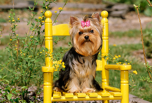 PUP 14 CE0033 01 © Kimball Stock Yorkshire Terrier Puppy Sitting On Yellow Chair By Flowers