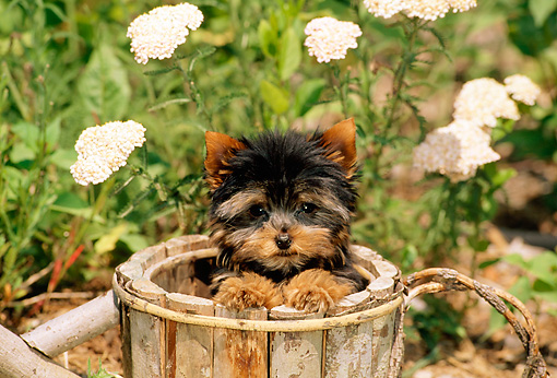 PUP 14 CE0034 01 © Kimball Stock Yorkshire Terrier Puppy Sitting In Wooden Bucket By White Flowers
