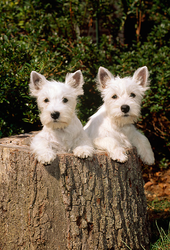PUP 14 CE0035 01 © Kimball Stock Two West Highland White Terrier Puppies Standing In Hollow Tree Stump By Shrubs