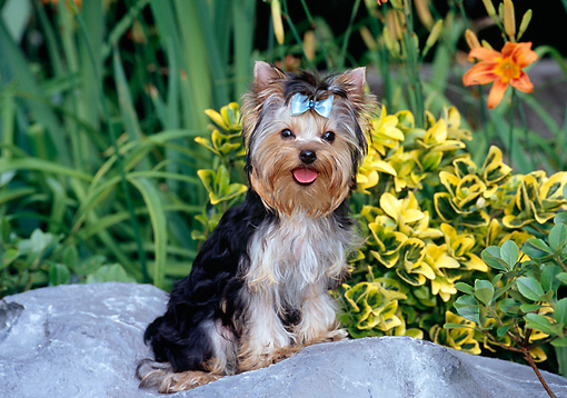 PUP 14 CE0040 01 © Kimball Stock Yorkshire Terrier Puppy Sitting On Boulder By Shrubs Flowers