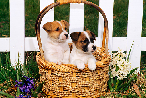 PUP 14 CE0045 01 © Kimball Stock Two Jack Russell Terrier Puppies Sitting In Basket By Flowers Picket Fence
