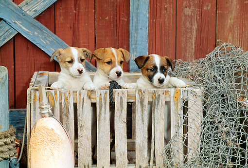 PUP 14 CE0046 01 © Kimball Stock Three Jack Russell Terrier Puppies Standing In Crate By Boathouse Net Buoy