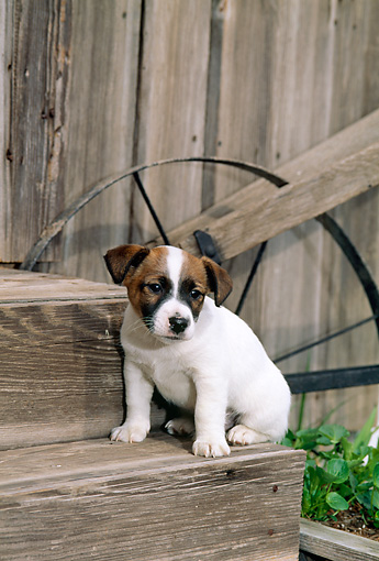 PUP 14 CE0047 01 © Kimball Stock Jack Russell Terrier Puppy Sitting On Step By Barn And Plow