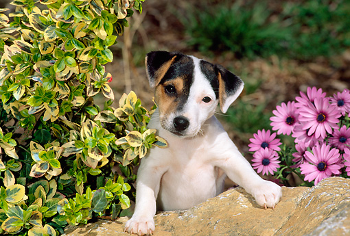 PUP 14 CE0049 01 © Kimball Stock Shoulder Shot Of Jack Russell Terrier Puppy Standing Behind Rock By Shrub Flowers
