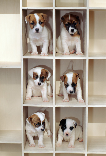 PUP 14 CE0050 01 © Kimball Stock Six Jack Russell Terrier Puppies Sitting On White Shelves