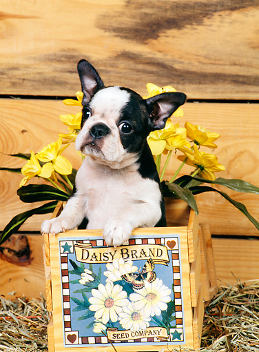 PUP 14 CE0052 01 © Kimball Stock Boston Terrier Puppy Sitting In Box With Yellow Flowers In Barn