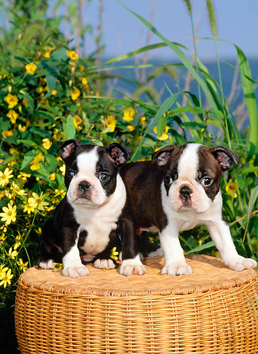 PUP 14 CE0054 01 © Kimball Stock Two Boston Terrier Puppies Sitting On Wicker Stool By Yellow Flowers Ocean Blue Sky