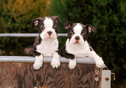 PUP 14 CE0055 01 © Kimball Stock Two Boston Terrier Puppies Sitting In Cart