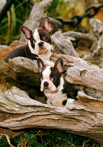 PUP 14 CE0056 01 © Kimball Stock Two Boston Terrier Puppies Sitting In Driftwood Log