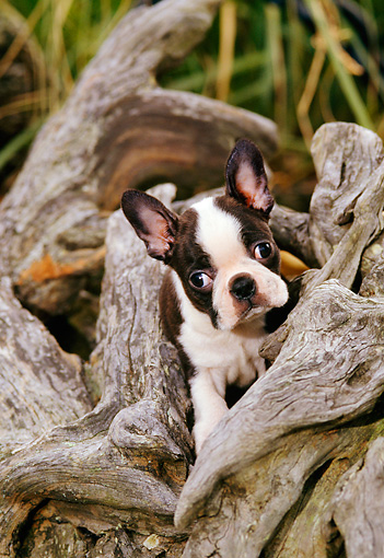 PUP 14 CE0057 01 © Kimball Stock Boston Terrier Puppy Sitting In Driftwood Log