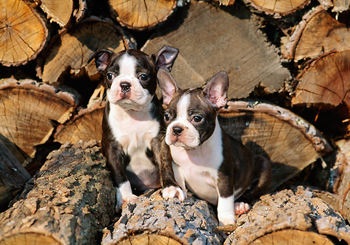 PUP 14 CE0058 01 © Kimball Stock Two Boston Terrier Puppies Sitting On Woodpile