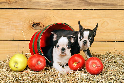 PUP 14 CE0059 01 © Kimball Stock Two Boston Terrier Puppies Laying In Basket By Apples