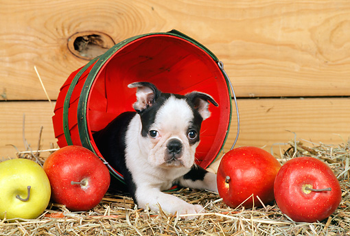 PUP 14 CE0060 01 © Kimball Stock Boston Terrier Puppy Laying In Basket By Apples
