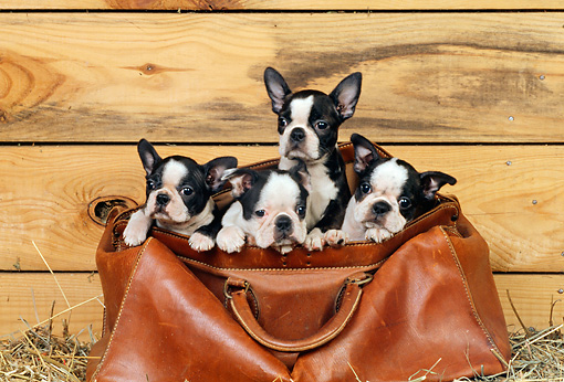 PUP 14 CE0061 01 © Kimball Stock Four Boston Terrier Puppies Sitting In Leather Doctor Bag In Barn