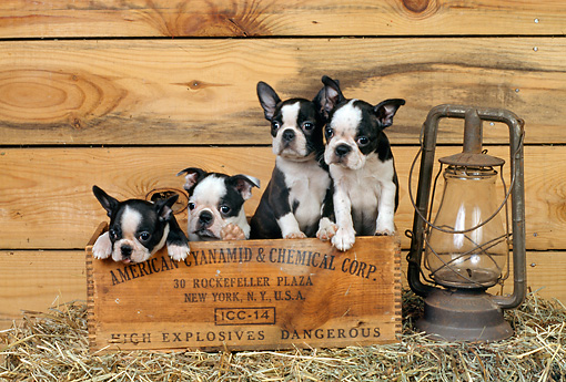 PUP 14 CE0062 01 © Kimball Stock Four Boston Terrier Puppies Sitting In Wooden Box By Lantern In Barn