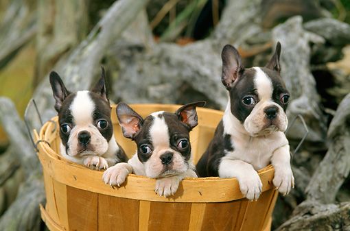 PUP 14 CE0064 01 © Kimball Stock Three Boston Terrier Puppies Sitting In Basket By Driftwood Log