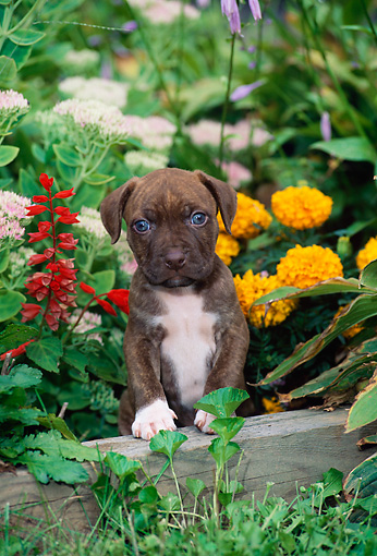 PUP 14 CE0066 01 © Kimball Stock American Pit Bull Terrier Puppy Stepping On Garden Wall By Flowers
