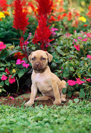 PUP 14 CE0070 01 © Kimball Stock American Pit Bull Terrier Puppy Sitting In Flower Garden