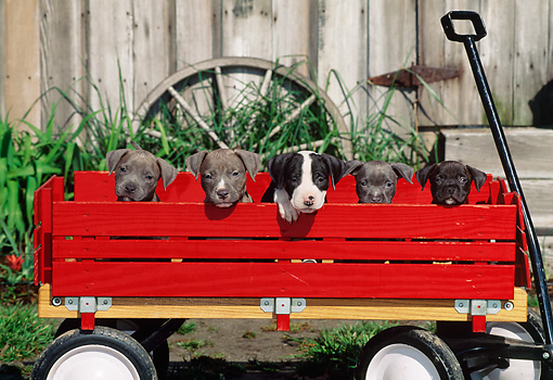 PUP 14 CE0078 01 © Kimball Stock American Pit Bull Terrier Puppies Sitting In Wagon By Barn And Wagon Wheel