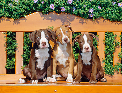 PUP 14 CE0079 01 © Kimball Stock American Pit Bull Terrier Puppies Sitting On Bench By Lavender Flowers