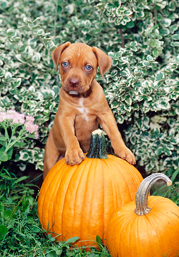 PUP 14 CE0080 01 © Kimball Stock American Pit Bull Terrier Puppy Stepping On Pumpkin By Shrubs