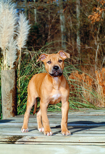 PUP 14 CE0081 01 © Kimball Stock American Pit Bull Terrier Puppy Standing On Dock By Tall Grass And Trees