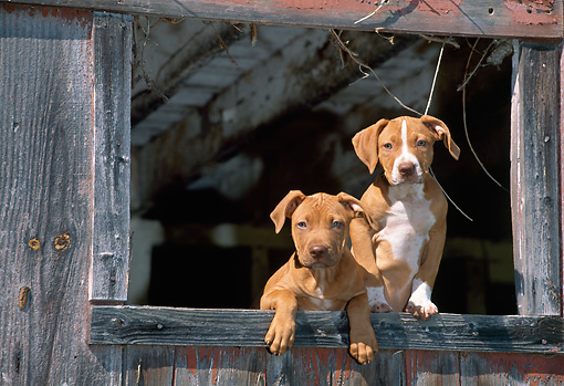 PUP 14 CE0082 01 © Kimball Stock American Pit Bull Terrier Puppies Standing At Barn Window