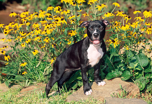 PUP 14 CE0083 01 © Kimball Stock American Pit Bull Terrier Puppy Stepping On Rock By Yellow Flowers
