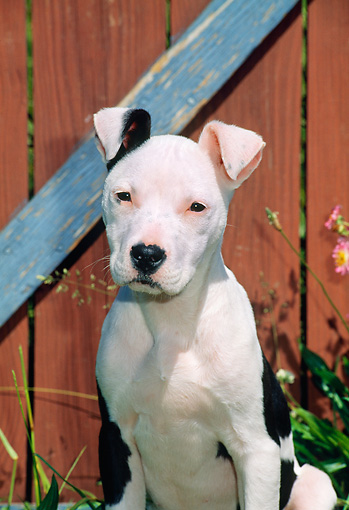 PUP 14 CE0093 01 © Kimball Stock American Pit Bull Terrier Puppy Sitting By Barn