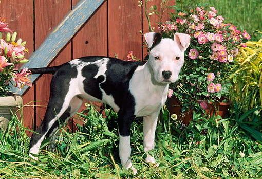 PUP 14 CE0094 01 © Kimball Stock American Pit Bull Terrier Puppy Standing By Barn And Flowers