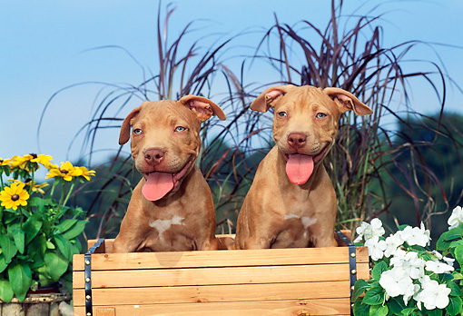 PUP 14 CE0096 01 © Kimball Stock Two American Pit Bull Terrier Puppies Sitting In Flower Cart