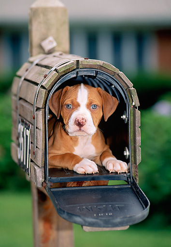 PUP 14 CE0097 01 © Kimball Stock American Pit Bull Terrier Puppy Laying Inside Mailbox