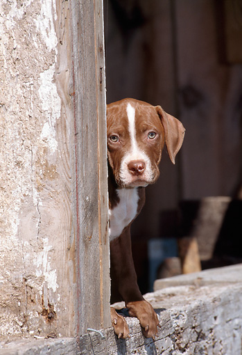 PUP 14 CE0098 01 © Kimball Stock American Pit Bull Terrier Puppy Peeking Around Doorway Of Old Building