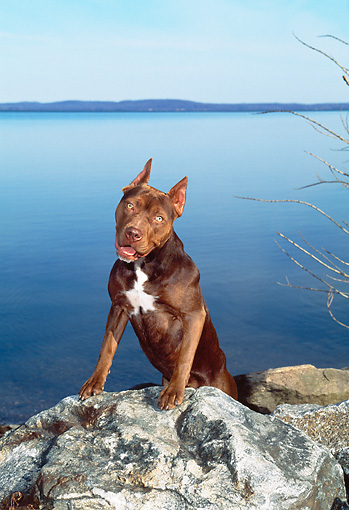PUP 14 CE0099 01 © Kimball Stock American Pit Bull Terrier Puppy Stepping On Rocks By Water