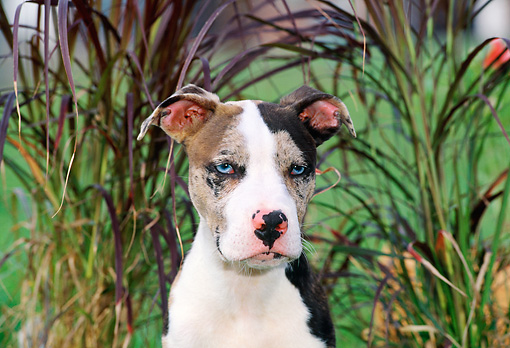 PUP 14 CE0100 01 © Kimball Stock Head Shot Of American Pit Bull Terrier Puppy Sitting By Tall Grasses