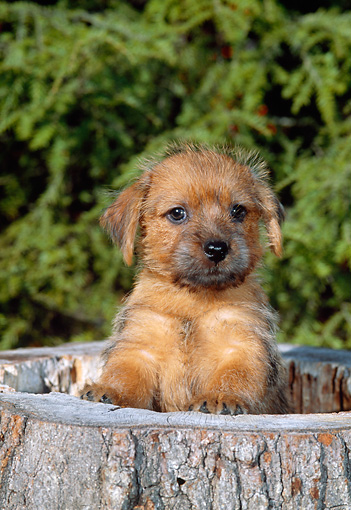 PUP 14 CE0104 01 © Kimball Stock Norfolk Terrier Puppy Standing In Hollow Stump