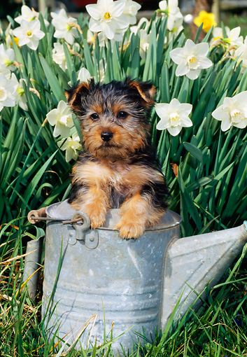 PUP 14 CE0108 01 © Kimball Stock Silky Terrier Puppy Standing In Pail By White Daffodils