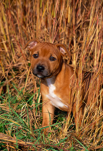 PUP 14 CE0111 01 © Kimball Stock Staffordshire Bull Terrier Puppy Sitting In Tall Grass In Field