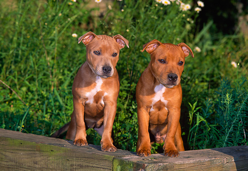 PUP 14 CE0114 01 © Kimball Stock Two Staffordshire Bull Terrier Puppies Standing On Wood In Garden