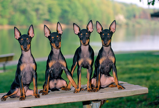 PUP 14 CE0116 01 © Kimball Stock Four Toy Manchester Terrier Puppies Sitting On Picnic Table By Lake
