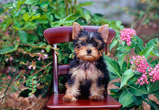 PUP 14 CE0119 01 © Kimball Stock Yorkshire Terrier Puppy Sitting On Wooden Chair In Garden By Pink Flowers