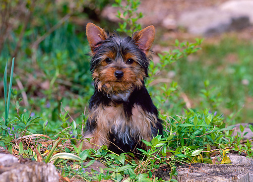 PUP 14 CE0120 01 © Kimball Stock Yorkshire Terrier Puppy Sitting In Field
